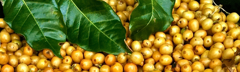 Arabica Gold- Hand picked at Byron Bay