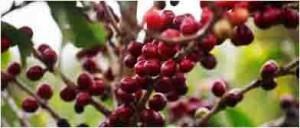 Australian Grown Coffee